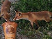 Neugierig begutachten die beiden Jungfüchse das Alphorn. (Bild: Dieter Mattis)