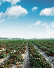 Tomaten wurden so lange gekreuzt, bis sie zwar gross, aber beinahe geschmacklos waren. (Bild: Getty)