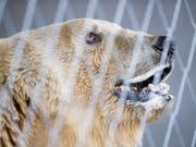 Bär Napa ist an den Zähnen operiert und kastriert worden. In Arosa soll es keine jungen Bären geben (Archivbild). (Bild: KEYSTONE/GIAN EHRENZELLER)