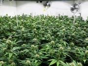 Cannabis ist verboten und wird trotzdem massenhaft konsumiert. Für den Nationalrat ist das kein Grund, Hanf zu legalisieren. (Bild: KEYSTONE/ANTHONY ANEX)