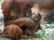 Nachwuchs bei den Orang-Utans im Zoo Basel: Mutter Maia mit ihrem Töchterchen Padma. (Bild: Keystone/Zoo Basel (Torben Weber))