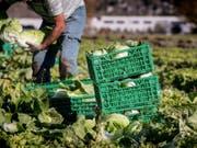 Die beiden Agrarinitiativen «Fair Food» und «Für Ernährungssouveränität» verlieren gemäss Umfragen zwei Wochen vor der Abstimmung immer mehr an Zustimmung. (Bild: Keystone/KEYSTONE/TI-PRESS/FRANCESCA AGOSTA)