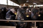 Ob der italienische Büffel-Mozzarella aus artgerechter Tierhaltung stammt, können Schweizer Kunden in Erfahrung bringen. (Bild: Alamy)