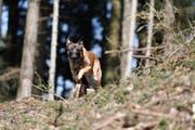 Polizeihund Ike hat eine feine Spürnase. (Bild: Zuger Polizei/PD)