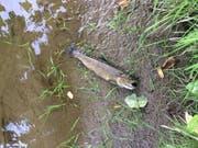 Wegen einer überlaufenen Güllegrube verendeten in Lully FR über 100 Fische. (Bild: zvg/Kapo FR)