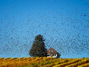Ein Vogelschwarm über den Reben am Genfersee. Der Klimawandel dürfte auch das Verhalten der Zugvögel beeinflussen. Die lang anhaltende Hitze und die Trockenheit haben aber den Flugplan kaum verändert. (Bild: KEYSTONE/VALENTIN FLAURAUD)