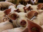 Die Afrikanische Schweinepest ist für die Tiere tödlich, für Menschen aber ungefährlich. (Bild: KEYSTONE/EPA/MARKUS HEINE)