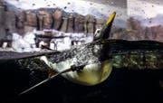 Der Eselspinguin Loki lebt und schwimmt im Loveland Living Planet Aquarium in Utah. Bild: Steve Griffin/AP (Draper, 17. August 2018)