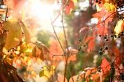 Hübsch anzusehen: Verfärbte Blätter in der Herbstsonne. (Bild: Manuel Lopez/Keystone)