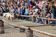 Angefeuert vom Publikum absolvieren die Säuli ihr Rennen.