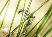 Wer oder was ist schuld am Insektensterben? Die Aufnahme zeigt eine Libelle bei der Häutung. (Bild: Andrea Stalder (Wuppenau, 22.August 2018))