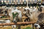 Brav warten die Kühe an ihren Plätzen. Die Schönsten und Besten werden ausgezeichnet. (Bild: Donato Caspari)