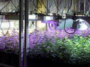 Indoor-Hanf-Produktion in Entlebuch: Die Firma Organic Concept AG hat eine Anlage entwickelt, in der mit gezieltem und dosiertem Lichteinsatz Energie beim Anbau der Pflanzen gespart werden kann. (Bild: KEYSTONE/ALEXANDRA WEY)