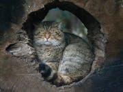 Die europäische Wildkatze breitet sich in der Schweiz wieder aus. Sie unterscheidet sich von der Hauskatze durch ihr dickes braunes Fell und die schwarzen Ringe. (Bild: KEYSTONE/AP/FRANK AUGSTEIN)