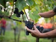 Das Schweizer Volk will keine Experimente in der Landwirtschaftspolitik. Es hat die beiden Agrarinitiativen wuchtig verworfen. (Bild: KEYSTONE/GIAN EHRENZELLER)