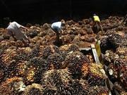 Der Bundesrat soll Palmöl nicht aus den Verhandlungen für ein Freihandelsabkommen mit Malaysia ausklammern. Das verlangt der Ständerat. Stattdessen schlägt er vor, keine Konzessionen in ökologischen und sozialen Fragen zu machen. (Bild: Keystone/AP/Tatan Syuflana)