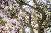 Eine der Thurgauer Stärken im Tourismus: Die Landschaft mit den blühenden Bäumen. (Bild: Andrea Stalder)
