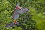 Diese Hirschkuh wurde für das Forschungsprojekt «Rothirsch in der Ostschweiz» besendert. (Bild: Markus P. Stähli/wildphoto.ch)