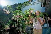 Romy Schellenberg Risi hat auf dem Balkon eine Engelstrompete mit über 60 Blüten. (Bild: Corinne Glanzmann (Hergiswil, 25. September 2018))