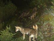 Ein Jungwolf ist in Graubünden in den Tod gestürzt. Ob es sich um ein Tier aus dem Calandarudel (Archivbild) handelt, ist unklar. (Bild: KEYSTONE/AMT FUER JAGD UND FISCHEREI GR)