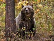 Der Grizzlybär steht im Yellowstone-Nationalpark wieder unter Schutz. (Bild: KEYSTONE/AP Montana Fish, Wildlife and Parks)
