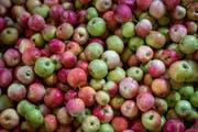 Die diesjährige Apfelernte fällt üppig aus.