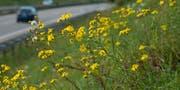 Die Pflanze gleicht einer gelben Margerite. (Bild: PD)