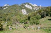 Im Sortengarten in Frümsen sind 72 verschiedene Walnuss-Baumsorten zu finden. (Bild: Jessica Nigg)