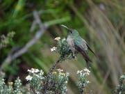 Schillernde blaue Federn am Hals sind das Merkmal der in Ecuador neu entdeckten Kolibri-Art. (Bild: KEYSTONE/EPA INABIO/INABIO HANDOUT)