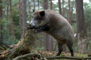 Halali! Das Wildschweinschnitzel gehört zum Herbst wie die Pilze. (Bild: PD)