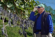 Winzer Gusti Planzer-Imhof stellt hocherfreut fest, dass seine Blauburgundertrauben dieses Jahr einen ausserordentlich guten Qualitätsstandard aufweisen. (Bild: Franz Imholz (Bürglen, 26. September 2018))
