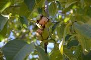Leckere Beute: Frümsen ist als Nussdorf bekannt - leider kommen nun auch «Nusstouristen», um die beliebten Steinfrüchte zu sammeln - auch auf illegale Weise. (Bild: Jessica Nigg)