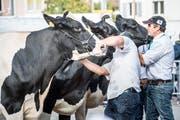 Die Bauern rüsten ihre Kühe, damit sie gut aussehen. Schliesslich wollen sie den Titel «Miss Wega» gewinnen. (Bild: Andrea Stalder)
