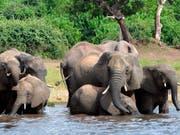 Tierschützer warnen, die Jagd auf Botswanas Elefanten sei besorgniserregend für die Erhaltung der Art. Bisher galt das Land noch als sicherer Hafen für die Dickhäuter. (Bild: KEYSTONE/AP/CHARMAINE NORONHA)