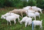 Bei Google fressen die Ziegen das Gras weg. (Symbolbild: Keystone)