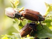 Nicht nur Bienen, sondern auch andere Insekten scheinen zunehmend auszusterben. Wie gross das Ausmass in der Schweiz und wieso die Tiere aussterben, ist noch unerforscht. Mehrere Organisationen lancieren daher eine Petition zur wissenschaftlichen Aufklärung des Insektensterbens. (Bild: KEYSTONE/URS FLUEELER)