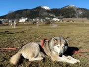 Bei den beschlagnahmten Hunden handelt es sich um solche Huskys. (Bild: KEYSTONE/LAURENT GILLIERON)