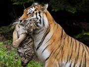 Im Juli 2011 trägt Amurtigermutter Elena im Gehege des Zürcher Zoos eines ihrer Jungen im Fang. (Bild: KEYSTONE/STEFFEN SCHMIDT)