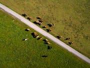 Hirte in Schwierigkeiten: Eine ukrainische Kuherde ist nach Weissrussland ausgebüxt und hat ihrem Hirten eine Festnahme beschert. (Bild: KEYSTONE/VALENTIN FLAURAUD)