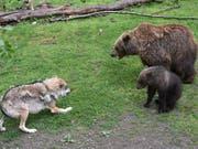 Wer wars? Spuren bei toten Schafen im Kanton Uri könnten von Wolf oder Bär stammen. (Bild: KEYSTONE/EPA DPA/UWE ZUCCHI)