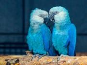 Der Spix-Ara existiert nur noch in Gefangenschaft. In freier Wildbahn, gilt der aus dem Animationsfilm «Rio» bekannte Vogel als ausgestorben. (Bild: KEYSTONE/APA/ZB/PATRICK PLEUL)