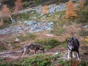 Gibt es gemäss Walliser Regierung nicht mehr: Zwei Wölfe des Augstbord-Rudels in einem Foto vom November 2016. (Bild: KEYSTONE/GRUPPE WOLF SCHWEIZ GWS)