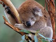 Der WWF warnt vor dem Aussterben der Koalas im australischen Staat New South Wales. (Bild: KEYSTONE/APA/WWF/WARWICK SLOSS)