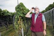 Winzer Konrad Burch, Präsident der Rebbaugenossenschaft Steinhausen, überprüft die Traubenqualität. (Bild: Werner Schelbert (7. September 2018))