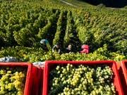 Weinernte in Visperterminen, den höchstgelegenen Weinbergen in Europa. (Bild: Keystone/JEAN-CHRISTOPHE BOTT)