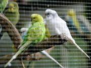 Stehen auf Grips: Wellensittich-Weibchen bevorzugen laut einer Studie clevere Partner. (Bild: KEYSTONE/AP/HERIBERT PROEPPER)