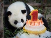 Eine Rüeblitorte zum Geburtstag: Ein Panda-Weibchen im Zoo von Malaysia wird ein Jahr alt. (Bild: KEYSTONE/AP/VINCENT THIAN)