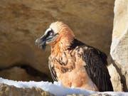 Der weibliche Bartgeier Althia ist am Samstag im Alter von 29 Jahren im Zoo La Garenne verendet. (Bild: La Garenne)
