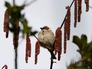 In der Nähe von Bauernhöfen weisen die Federn von Spatzen Spuren von Neonikotinoiden auf. (Bild: KEYSTONE/SIGI TISCHLER)