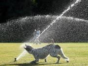 Ein Hund geniesst die Abkühlung in einem Park in Sydney - der Südosten Australiens leidet unter einer extremen Hitzewelle mit Temeraturen von weit über 40 Grad. (Bild: KEYSTONE/EPA AAP/JOEL CARRETT)